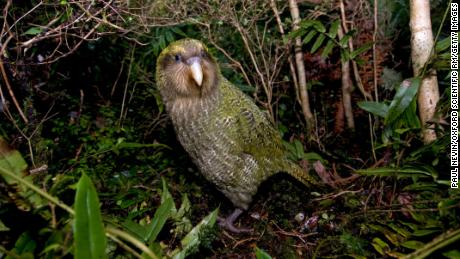 New Zealand crowns chubby parrot bird of the year