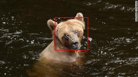 نرم افزار BearID صورت یک خرس را در تصویر لکه دار می کند.