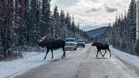 Moose walking across the road at Jasper National Park.