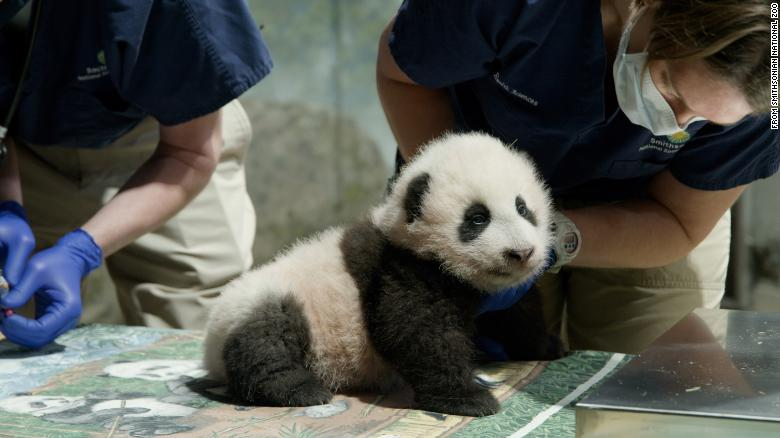 The National Zoo's baby panda has a name, and it means 'little miracle'