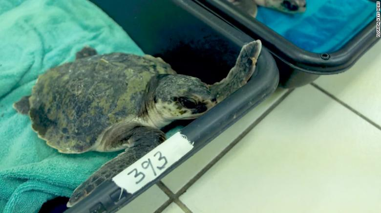 40 endangered sea turtles were brought to Florida to warm up after suffering from 'cold stunning'