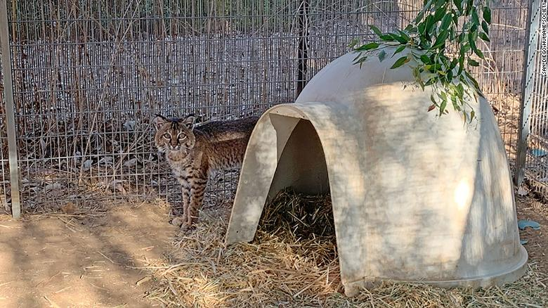 A bobcat rescued from the California wildfires has been treated for burns and released back into the wild
