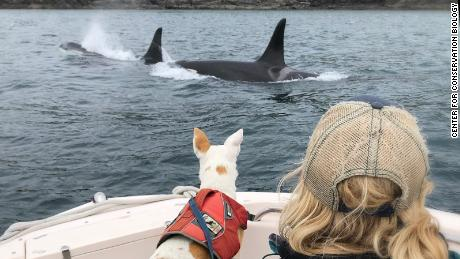 Thanks to expertly trained dogs like Eba and their handlers, researchers can collect and analyze the poop of Southern Resident orcas to understand why populations are declining.