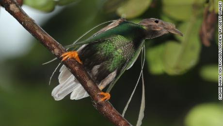 A male standardwing bird-of-paradise. Like the newly discovered dinosuar, it has decorated shoulders.