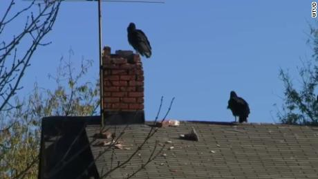 The town will use a cannon to try and keep vultures from gathering.