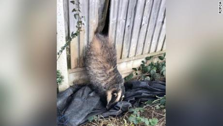 A badger needed a bit of help after getting his butt wedged in a garden fence.