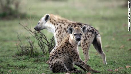 Spotted hyenas are shown here in the Masai Mara Game Reserve, Kenya. When a queen dies, her youngest daughter assumes the alpha female role.