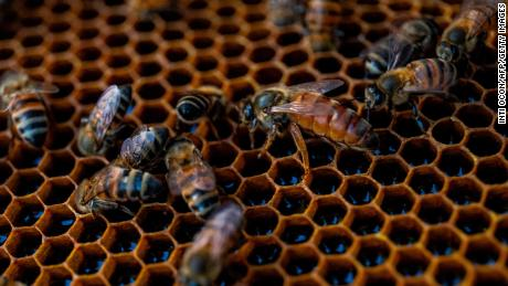 Worker bees surround a queen bee in a hive in Esteli, Nicaragua. The queen bee plays a central role in the colony's reproductive survival.