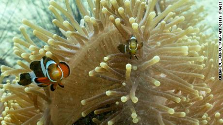Clownfish are shown near Koh Lipe island in the Andaman Sea, off Satun province, Thailand. This reef fish switches sex when assuming power.