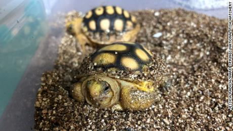 Gopher tortoise hatchlings.