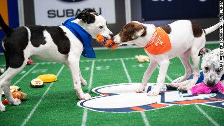 Puppies playing during Puppy Bowl XVII.
