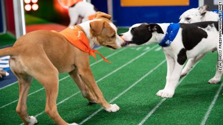 Puppies playing at Puppy Bowl XVII.
