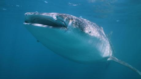 How NASA technology can help save whale sharks -- the world's largest fish