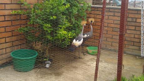 These gray crowned cranes were kept as pets in Rwanda.