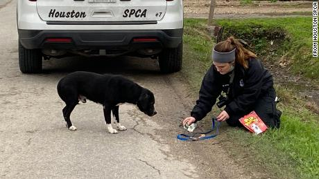 Natalie Parsons, an animal cruelty investigator, tends to a dog rescued by the Houston SPCA.