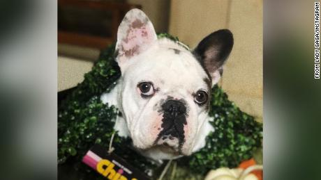 lady Gaga's French bulldogs Gustav, hier afgebeeld, and Koji were stolen in a violent attack on her dog walker.