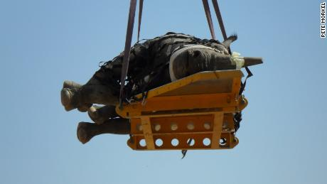Securing a rhino to a stretcher takes up to half an hour.