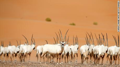 Hunted for its meat, hide and horns, the Arabian oryx disappeared from the wild in the 1970s but has since been reintroduced in Israel, Oman, Saudi Arabia, Jordan and the United Arab Emirates.