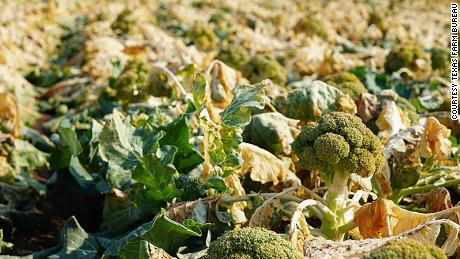 Some broccoli fields at L&安培;L Farms near Uvalde, 德州, were near harvest when the storm hit and are now considered a total loss.