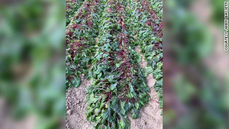 Large fields of red swiss chard, spinach, beets, rainbow swiss and dill in Edinburg, 德州, were lost in the winter storm that hit Texas on February 14, 2021.