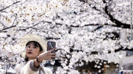 Japan just recorded its earliest cherry blossom bloom in 1,200 años. Scientists warn it's a symptom of the larger climate crisis