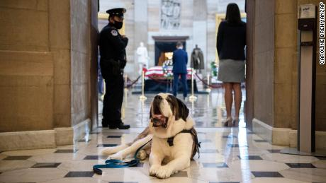 Official police comfort dog Officer Clarence from Greenfield, Massachusetts.
