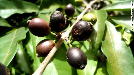 Forgotten for half a century, this rare bean could save Sierra Leone's coffee industry