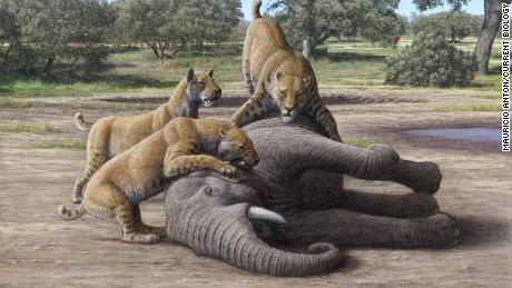 Saber-toothed cats stalked and ate baby mammoths