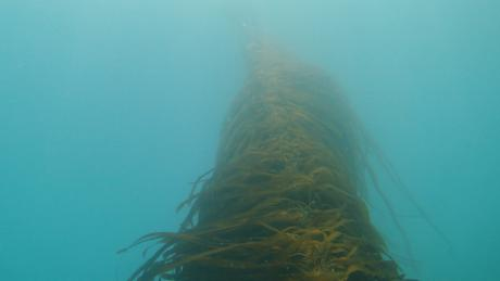 The kelp in the Gulf of Maine's waters