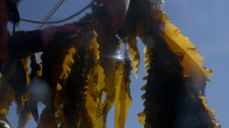 Some of the kelp that Running Tide Technology is growing