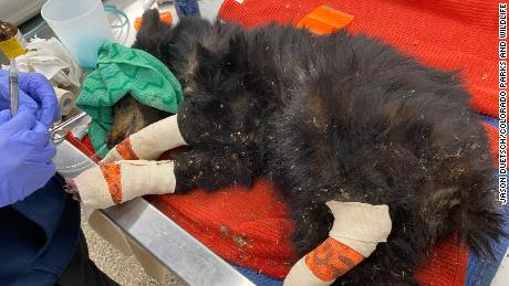 The bear cub weighed only 16.3 pounds when it was captured.