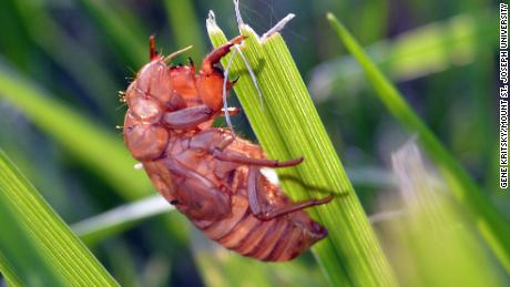 The great numbers of cicadas during this event can be a nuisance to farmers, but the insects aren't harmful to humans or animals.
