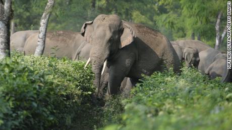 A herd of 46 wild elephants walk through the Gangaram Tea Garden, around 40 km from Siliguri, India, in November 2017.