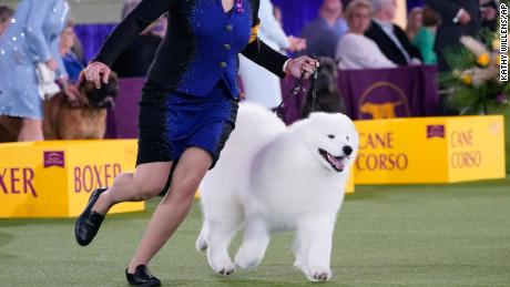 The handler of a Samoyed runs with her dog before the judges in the working group category at the Westminster Kennel Club Dog Show on Sunday.