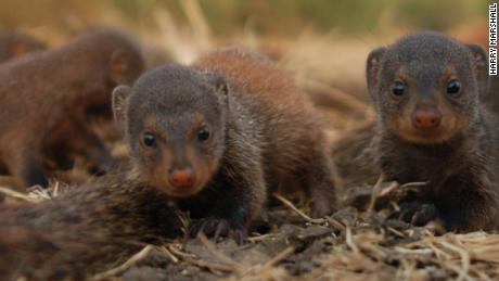 Mongoose mothers give birth at the same time to take care of pups communally.