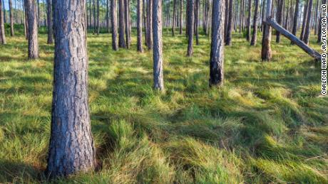 Longleaf pines forests, pictured here at Avon Park Air Force Range in the Everglades Headwaters, are an essential Florida ecosystem.