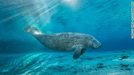 A manatee swims in the freshwater springs at Crystal River National Wildlife Refuge, an important part of the Florida Wildlife Corridor.