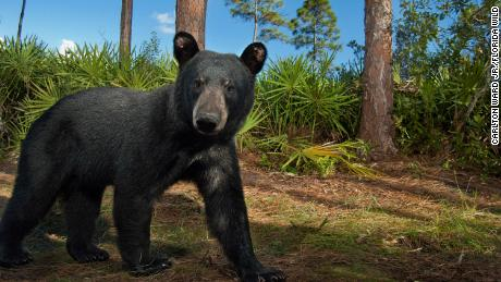 A Florida black bear pauses in front of a camera trap on on the Hendrie Ranch in south central Florida.