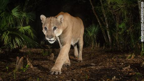A male Florida panther triggers a camera trap at Babcock Ranch State Preserve, part of the Florida Wildlife Corridor in southwest Florida.