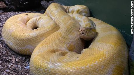 A 12-foot Burmese python missing from a mall aquarium has been found