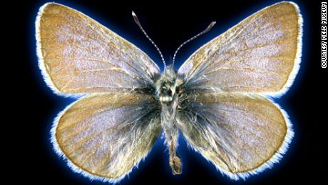 This Xerces blue butterfly specimen is 93 years old.
