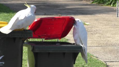 Two sulphur-crested cockatoos in Sydney, Australia, lift the lid of a trash bin to forage for food.
