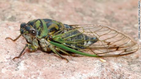 2E83K7K Dog-day Cicada - Neotibicen canicularisSeptember 9th, 2018Brandon, South Dakota
