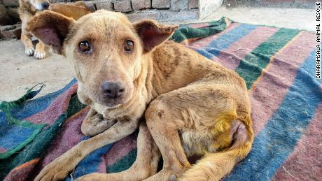 A stray dog afflicted with maggot wounds, rescued from the streets by Dharamsala Animal Rescue.