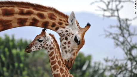 Giraffes have complex social societies.