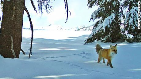 The Sierra Nevada red fox is now protected and listed as an endangered species