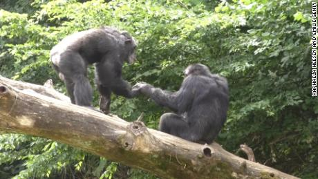 Apes say hello and goodbye, just like people do, research shows