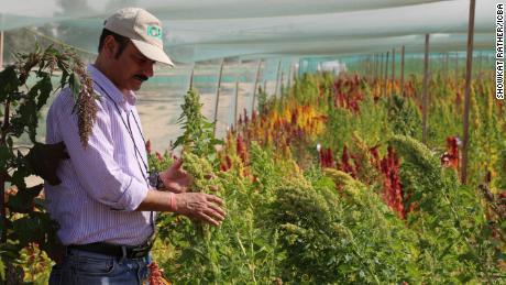 Quinoa grows in the Dubai desert.