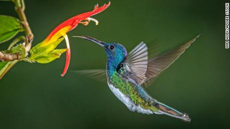White-necked jacobin hummingbirds may engage in physical fights with other hummingbirds for food.