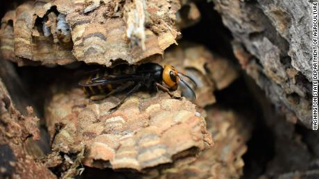 The first 'murder hornet' nest of 2021 has been destroyed in Washington